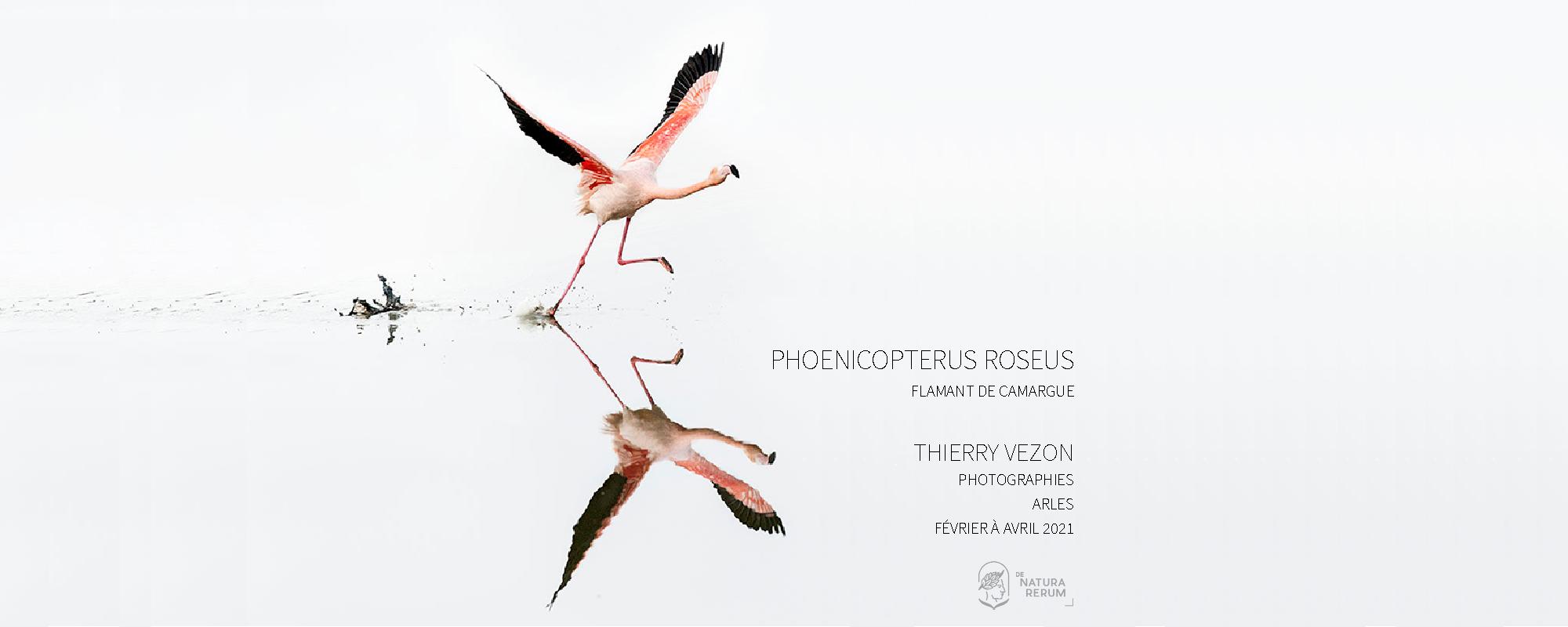 Phoenicopterus roseus Thierry Vezon De natura rerum Arles 2021