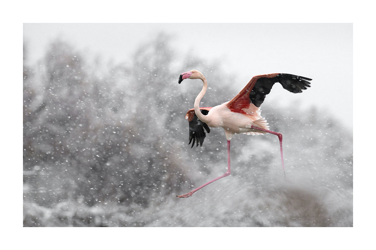 Flamant rose Thierry Vezon